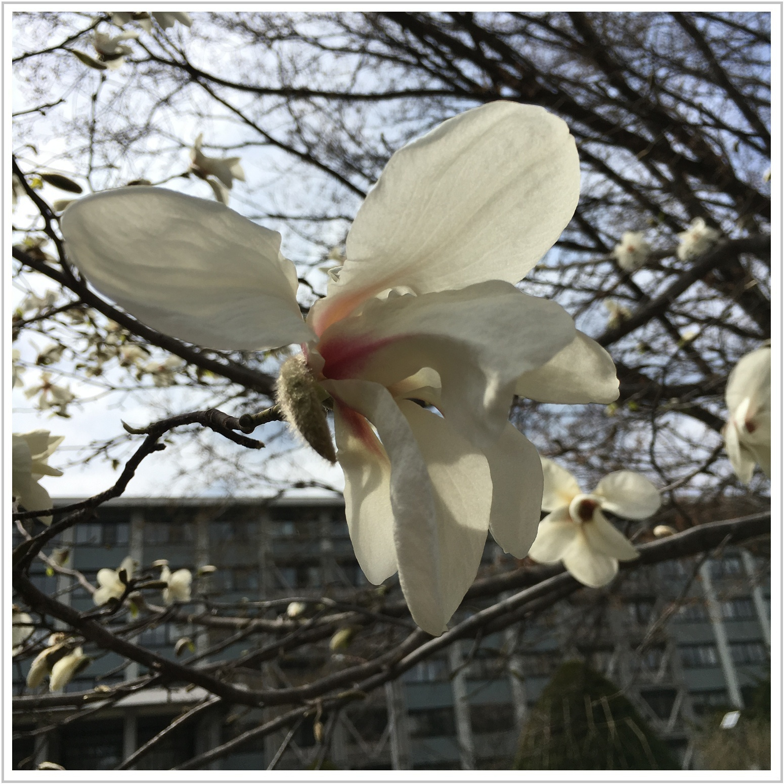 kobushi_1_425.jpg
