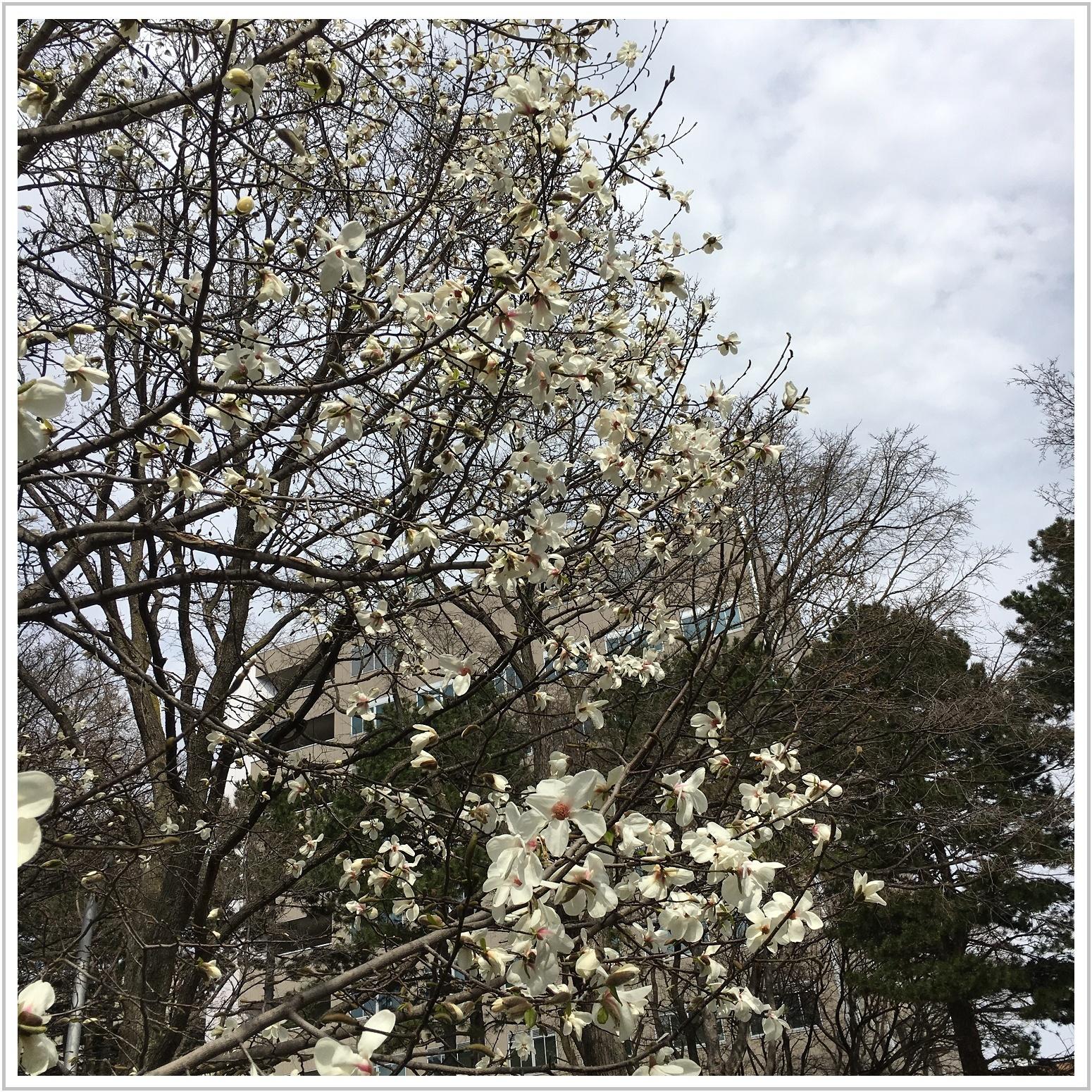 kobushi_5_425.jpg