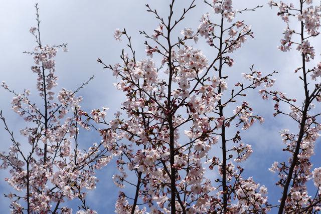 桜2017-2