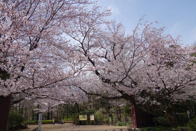 桜2017-3