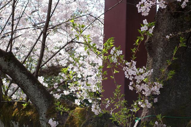 桜2017-4