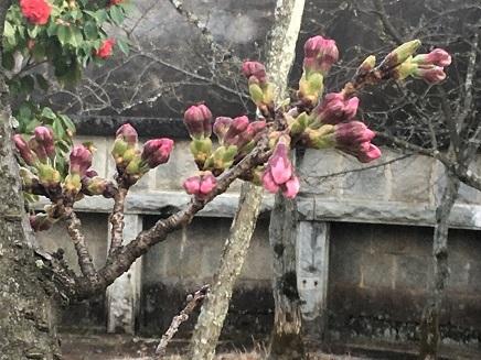 3272017 大空山桜開花観測S