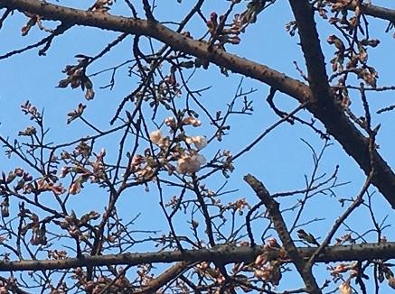 3272017 大空山桜開花観測S2
