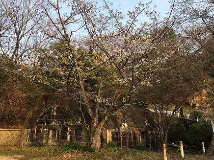 3302017 大空山桜S2