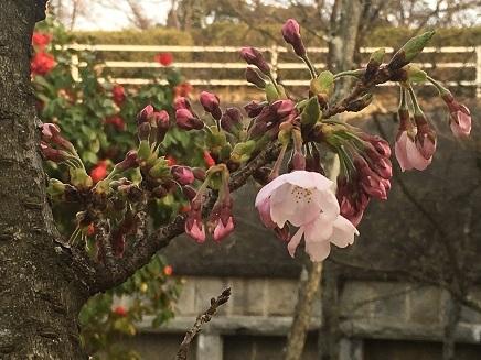 3302017 大空山桜S3