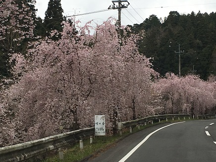 11番へ向かう国道の桜S2