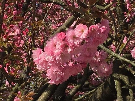 4182017 広島造幣局八重桜S11