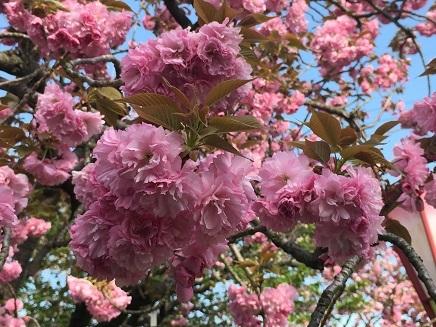 4182017 広島造幣局八重桜関山S12