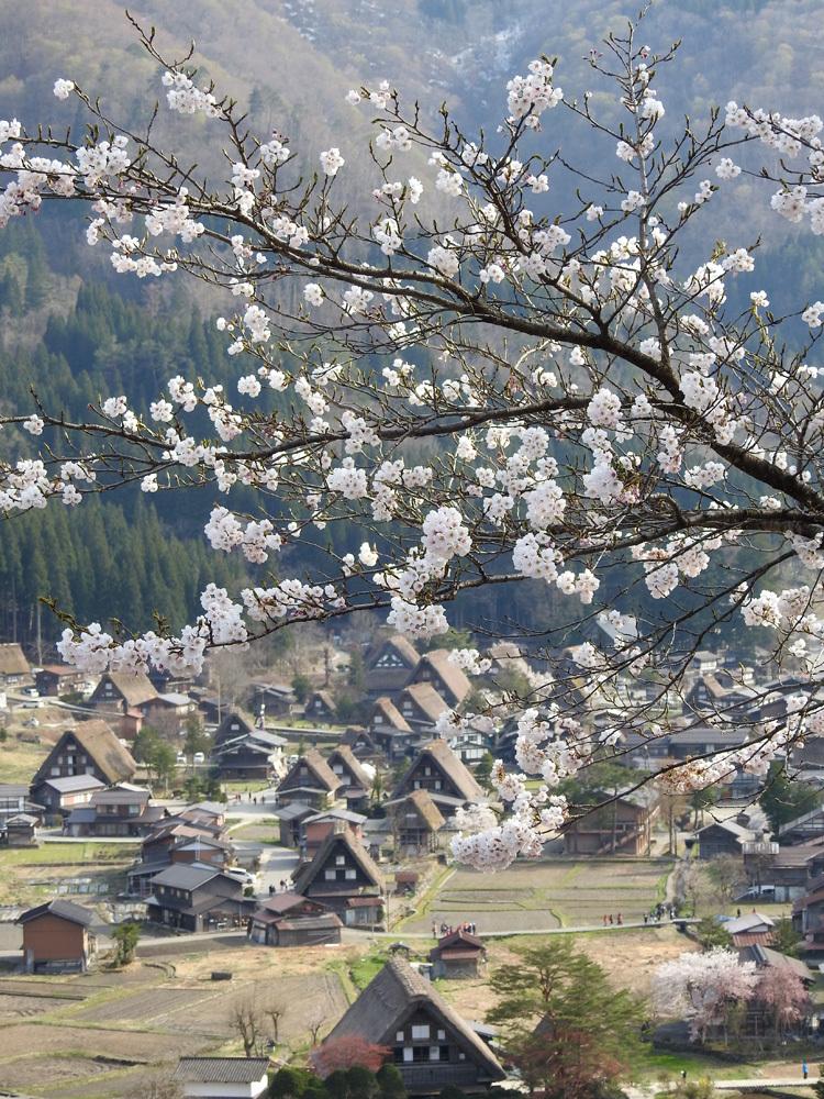 白川郷の桜は満開となり見頃になっています ①