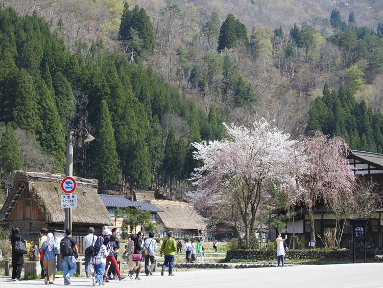 白川郷の桜は満開となり見頃になっています ③