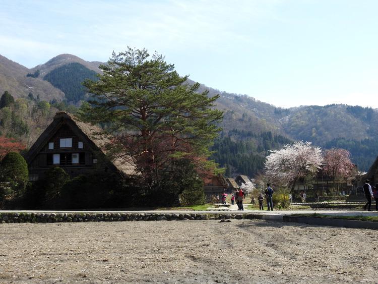 白川郷の桜は満開となり見頃になっています ④