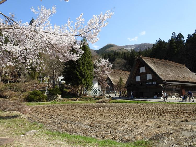 白川郷の桜は満開となり見頃になっています ⑦