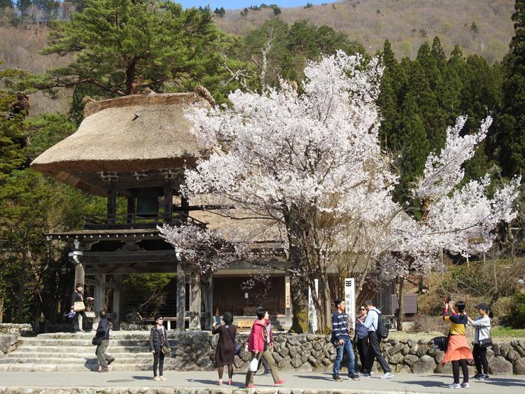 白川郷の桜は満開となり見頃になっています ⑧