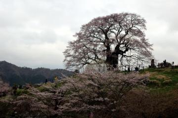 2017-04-12 醍醐 014