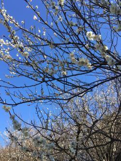 お散歩梅の花 1