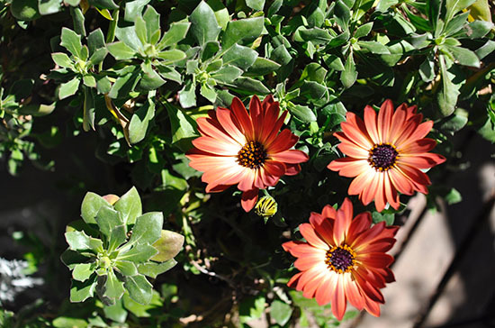 170310_Osteospermum.jpg