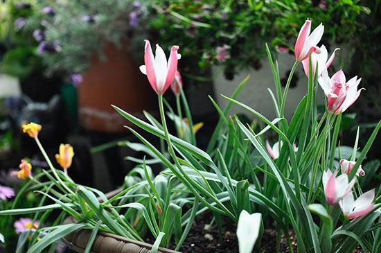 170418_tulip.jpg