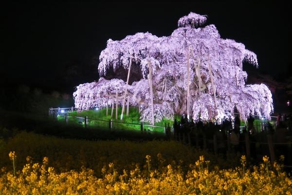 201704滝桜 (4)