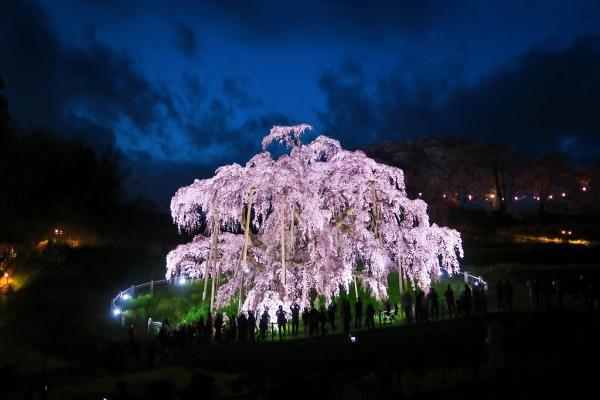 201704滝桜 (1)