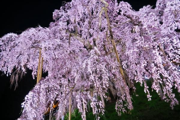201704滝桜 (2)