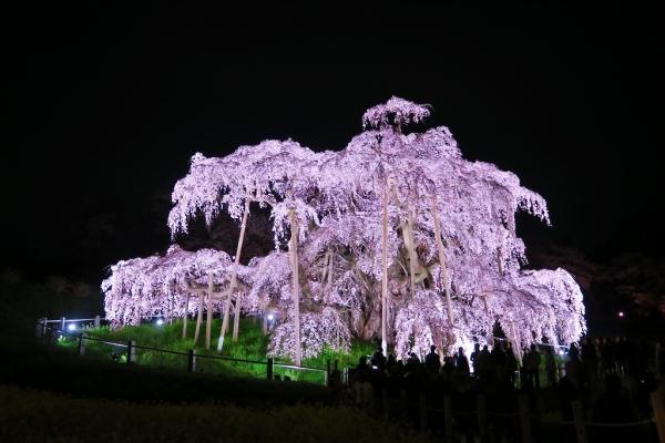 201704滝桜 (3)