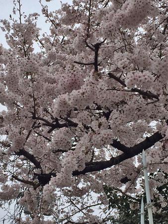 平成29年の桜 1