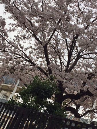 平成29年の桜 3