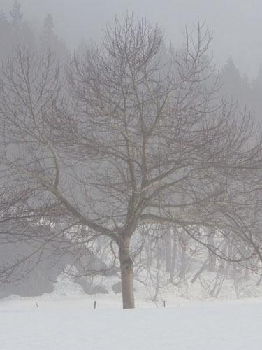 樹形 コブシ