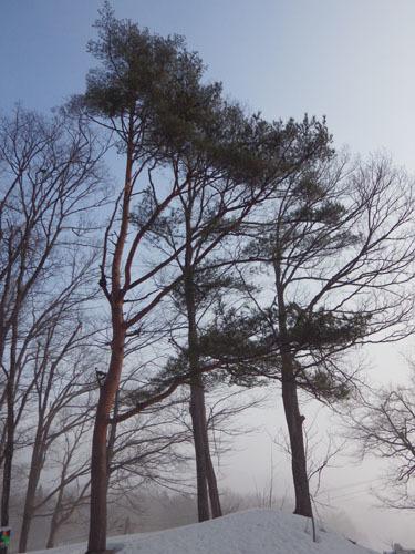 樹形 アカマツ