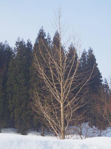 樹形 イチョウ