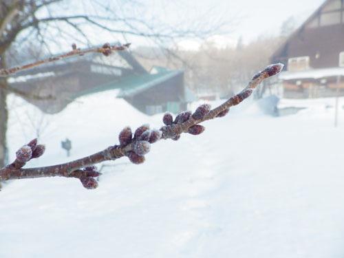 170312 オオシマザクラ冬芽