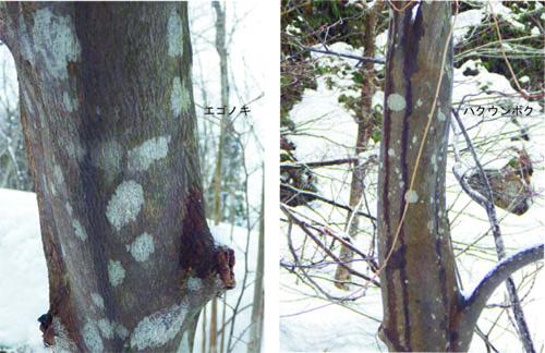 エゴノキ科木肌のコピー