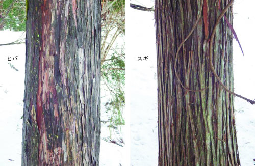 ヒノキ科木肌のコピー