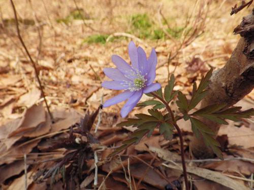170414 キクザキイチゲ紫