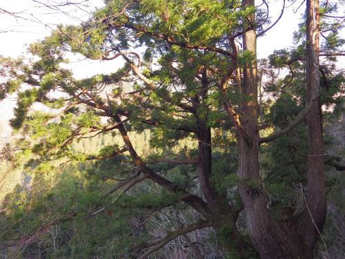 170416 展望台の大杉
