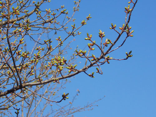 170424 オオシマザクラ別木