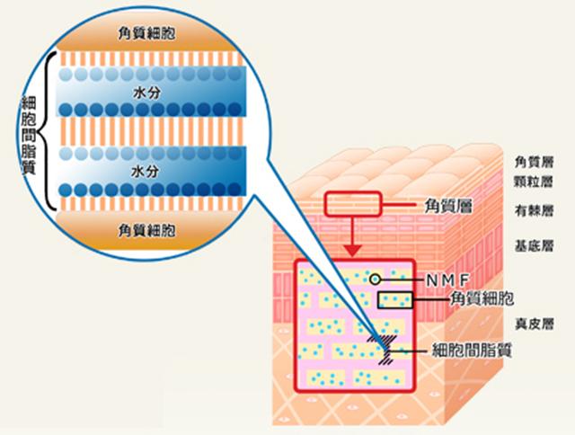 クラウンセルクリーム 肌の中の構造