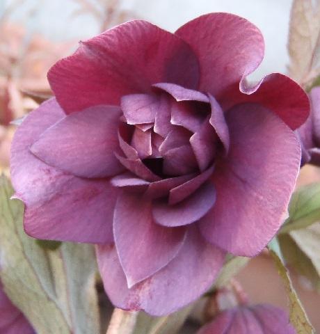 Christmasrose-Elegance_purple3-2017.jpg