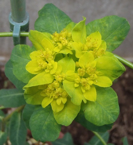 Euphorbia_Polychroma1-2017.jpg