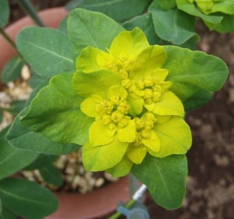 Euphorbia_Polychroma2-2017.jpg
