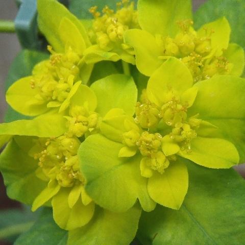 Euphorbia_Polychroma5-2017.jpg