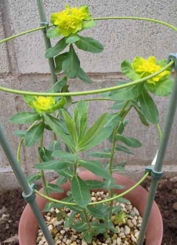 Euphorbia_Polychroma6-2017.jpg