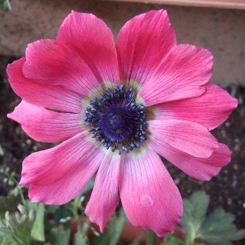 anemone_ful_pink1-2017.jpg