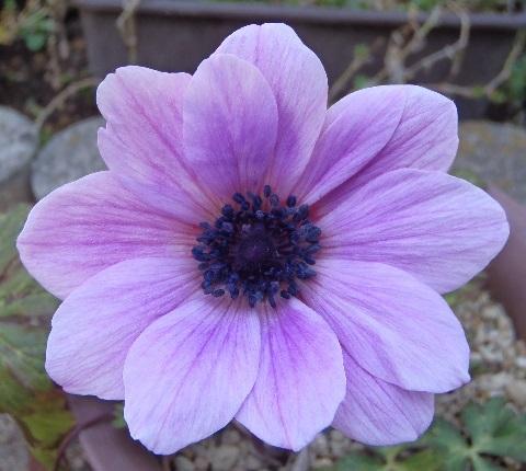 anemone_fulgens_blue_purple1-2017.jpg