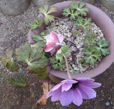 anemone_fulgens_blue_purple3-2017.jpg