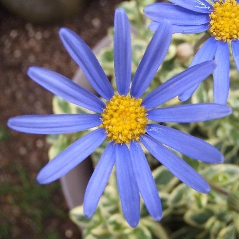 blue_daisy1-2017.jpg