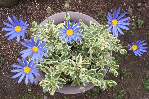 blue_daisy2-2017.jpg