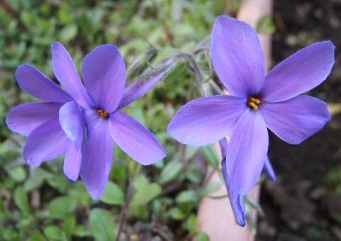 tsuruhanashinobu-sherwood-purple1-2017.jpg