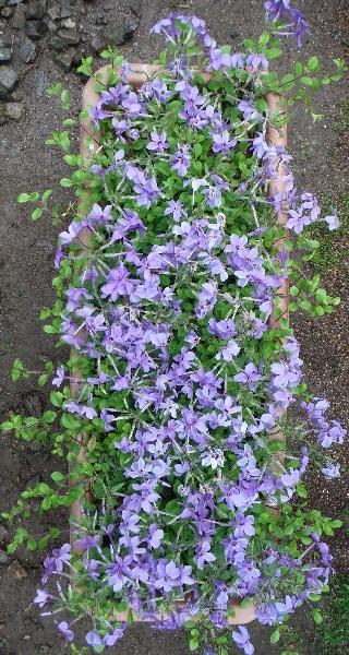 tsuruhanashinobu-sherwood-purple5-2017.jpg