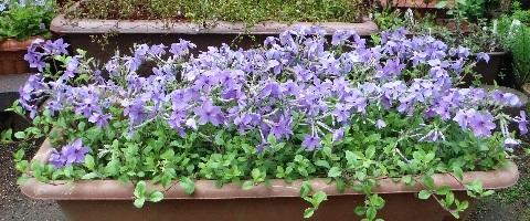 tsuruhanashinobu-sherwood-purple7-2017.jpg